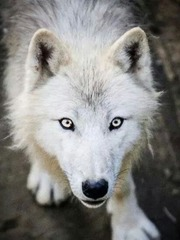 The Silver-Eyed Wolf